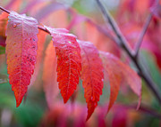 Fall Colors Autumn Colors Posters - Cascading Sumac Poster by Bill Pevlor