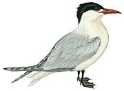 Black Bird Drawings Prints - Caspian tern Print by Anonymous