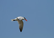 Jim Nelson Art - Caspian Tern by Jim Nelson