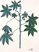 Leaf Painting Prints - Castor Oil Plant Print by Indian School