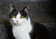 Cat Portraits Prints - Cat black and white with green and yellow eyes Print by Matthias Hauser