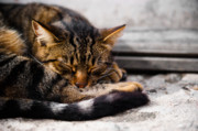 Winter Sleep Photos - Cat by Daniel Kocian