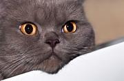 Gouzel - - Cat