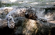 Pittsburgh Zoo Prints - Cat Nap Print by Chad Thompson