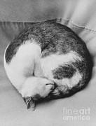Cat Nap Print by Suzanne Szasz