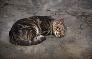 Tabby Cat Photos - Cat on a hot summer day by Mary Machare