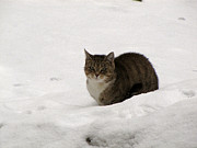Irina Gladkaja - Cat on the snow
