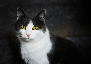 Cat Portraits Metal Prints - Cat portrait with texture Metal Print by Matthias Hauser