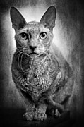 Cat Eyes Digital Art - Cat by Rikard  Olsson