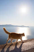 Island Light Photos - Cat walking on a wall Santorini Greece by Matteo Colombo