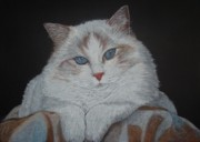 Dessin Prints - Cat with blanket Print by Cybele Chaves
