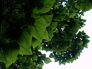 Janis  Tafoya - Catalpa Leaves