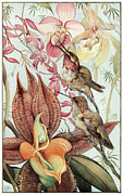 Hummingbird And Pink Flowers Framed Prints - Catasetum and Cypridediums Framed Print by Edward Detmold