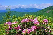 Michael Weeks - Catawba Rhododendron...