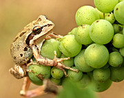 Pacific Tree Frog Metal Prints - Catching a ride on the pinot Metal Print by Jean Noren