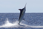 Blue Marlin Photo Metal Prints - Catching Air Metal Print by Carol Lynne