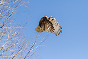Redtail Hawk Prints - Catching the Sun Print by Bill  Wakeley