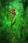 Fluttering Digital Art - Caterpillar Climbing by Thomas Woolworth