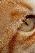 Golden Eye Cat Photos - Cats Eye by Karinna Marvill
