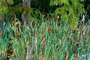 Cattails Print by Carolyn Ricks