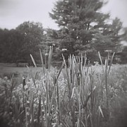 Holga Images Framed Prints - Cattails Dream Framed Print by Lynn-Marie Gildersleeve