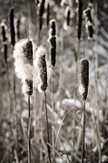 Weed Photos - Cattails in winter by Elena Elisseeva