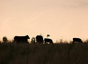 Clay Center Prints - Cattle at sunset Print by Tracy Salava