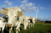 Wind Turbines Framed Prints - Cattle Framed Print by Bernard Jaubert