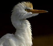 Face In Profile Framed Prints - Cattle Egret Framed Print by Anne Rodkin