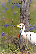 Robert Frederick - Cattle Egret At Fenceline
