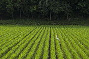 Rice Paddy Prints - Cattle Egret in a Rice Paddy Print by Andrew Campbell