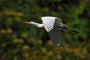 Alex Sukonkin - Cattle egret in flight