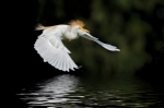 Waterfowl Framed Prints - Cattle Egret in Flight Framed Print by Bonnie Barry
