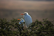 Jasper Van Vessem - Cattle Egret