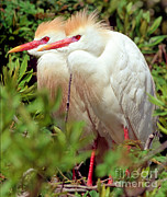 Breeding Posters - Cattle Egret Pair In Breeding Plumage Poster by Millard H. Sharp