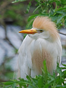 Bird Identification Posters - Cattle Egret Poster by Skip Willits