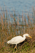 Natural Focal Point Photography - Cattle Heron