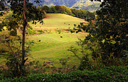 Lush Green Framed Prints - Cattle Of Kauai Framed Print by Ron Day