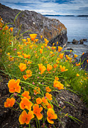 Wildflowers Prints - Cattle Point Poppies Print by Inge Johnsson