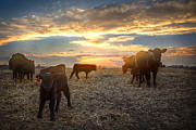 Ranch Prints - Cattle Sunset 2 Print by Thomas Zimmerman