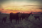Black Angus Photo Posters - Cattle Sunset Poster by Thomas Zimmerman