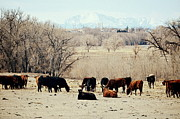Clarice  Lakota - Cattle View