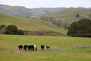 Bulls Metal Prints - Cattles at Fernandez Ranch California - 5D21062 Metal Print by Wingsdomain Art and Photography