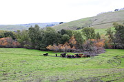 Bulls Metal Prints - Cattles at Fernandez Ranch California - 5D21070 Metal Print by Wingsdomain Art and Photography