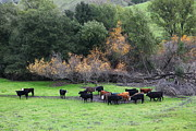 Bulls Metal Prints - Cattles at Fernandez Ranch California - 5D21071 Metal Print by Wingsdomain Art and Photography