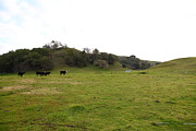 Bulls Metal Prints - Cattles at Fernandez Ranch California - 5D21124 Metal Print by Wingsdomain Art and Photography