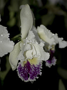 Catherine White Photo Prints - Cattleya Catherine Patterson with Rain Drops 2 of 2 Print by Terri Winkler