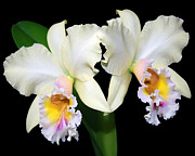 Cattleya Prints - Cattleya George King Southern Cross Print by Carlos Melillo