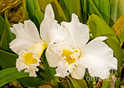 Cattleya Photo Framed Prints - Cattleya Orchid Framed Print by Millard H. Sharp