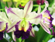 Cattleya Prints - Cattleya Orchid Print by Nancy Chenet